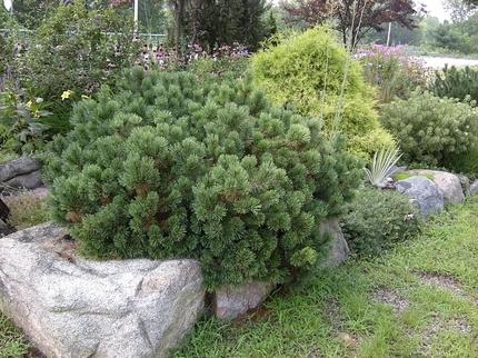 Виды и декоративные сорта сосен